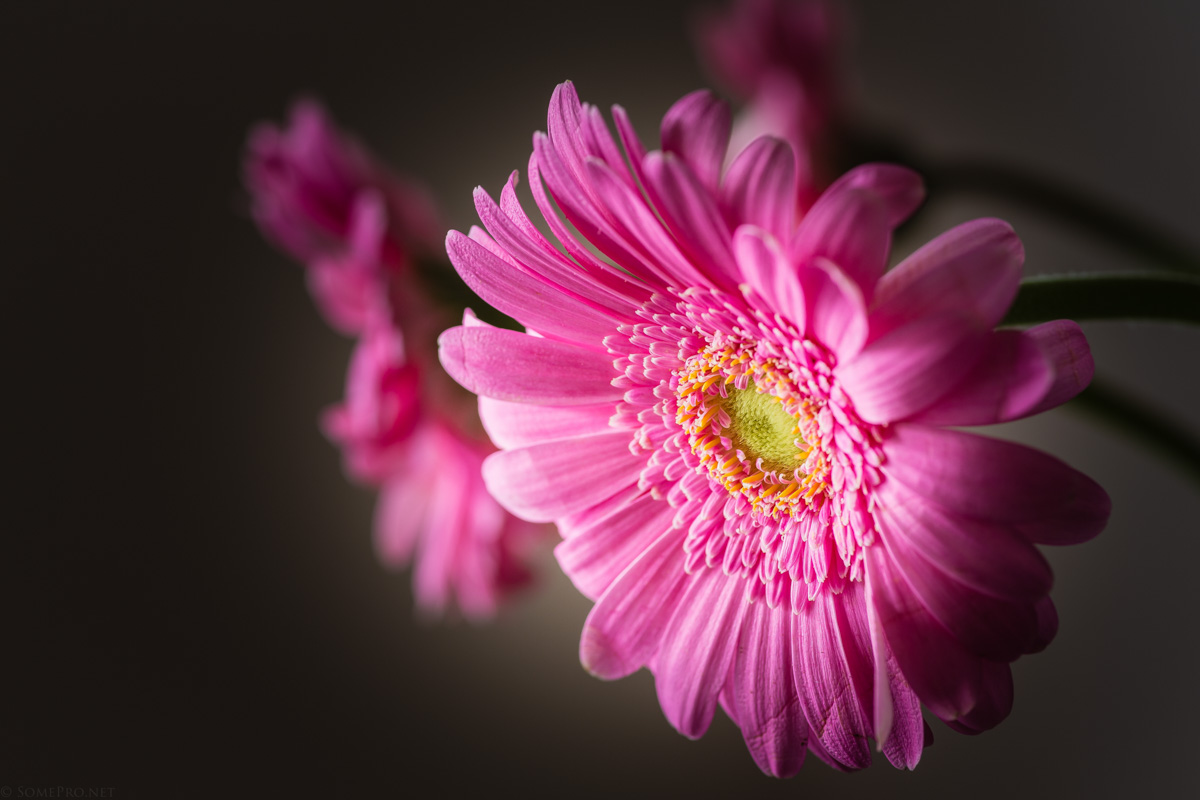 SomePro Stilleben Blume
